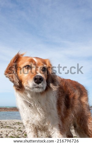 Red haired collie breed dog at a beach in Gisborne, New Zealand