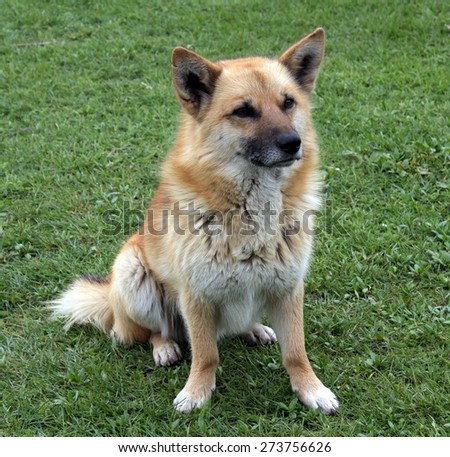 Red-haired mixed breed dog sits on the grass - stock photo