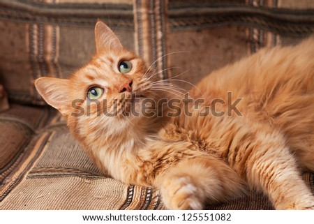 red-haired playful domestic cat lying on the sofa - stock photo