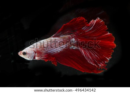 Red Halfmoon Betta splendens or siamese fighting fish isolated on black background