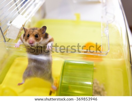 Red Hamster gets out of his cage - stock photo