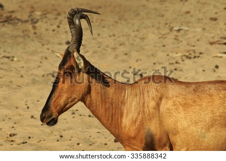 Red Hartebeest - African Wildlife Background - Mutated Horns - stock photo