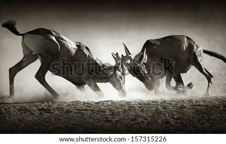 Red hartebeest dual in dust - Alcelaphus caama -  Kalahari desert -  South Africa - stock photo