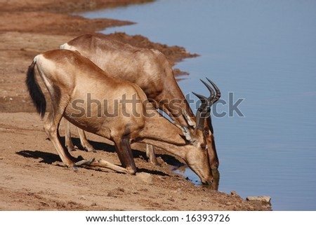 Red Hartebeest quenching their thirst at the waterhole. - stock photo