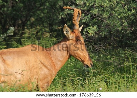 Red Hartebeest - Wildlife Background from Africa - Sand Marked Horns