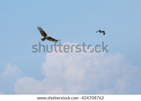 Red Hawk, Brahminy kite(Haliastur indus) flying on sky in Bang Chan, Khlung, Chanthaburi, Thailand - stock photo