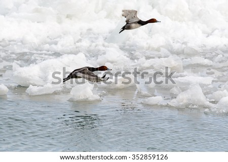 RED HEAD FLYING OVER THE ICE COVERED ST CLAIR RIVER
