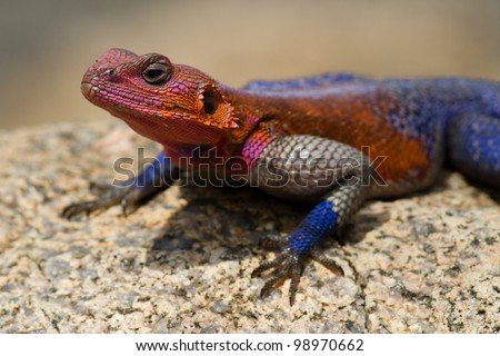 Red-headed rock agama colourful male territorial display, Serengeti National Park, Tanzania, East Africa - stock photo