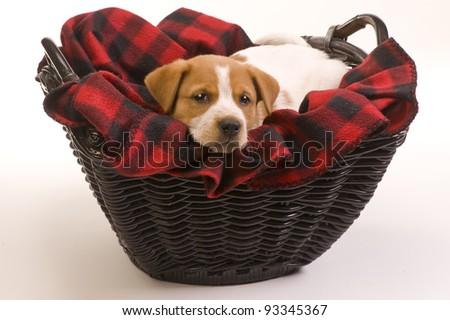 Red Heeler Pup 9 weeks old. - stock photo