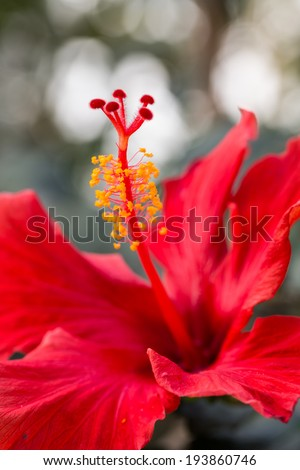 red hibiscus against blured background - stock photo