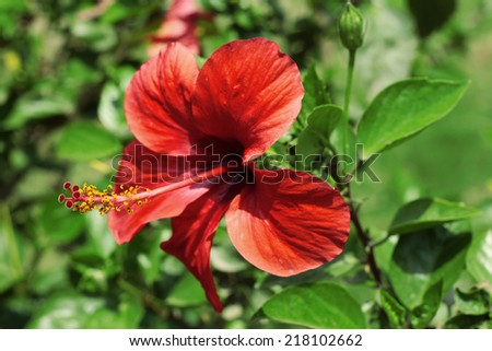 Red hibiscus blooming on the summer field