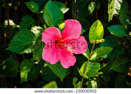 Red hibiscus flower - stock photo