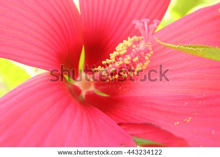 Red Hibiscus flower close up