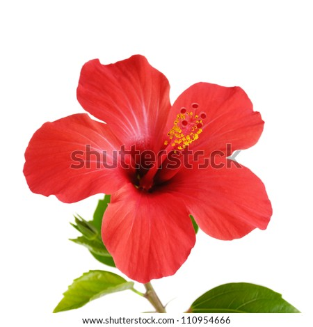Red Hibiscus flower head over white background - stock photo