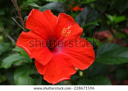 Red Hibiscus Flower in Thailand.