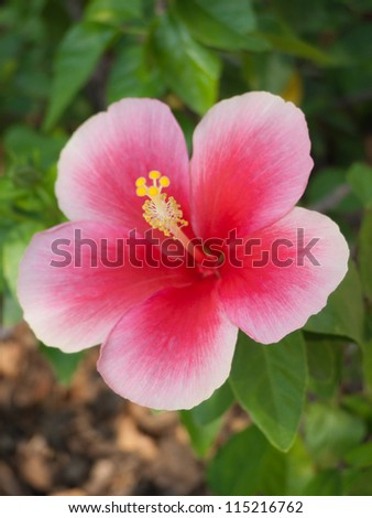 Red hibiscus flower in the park. - stock photo