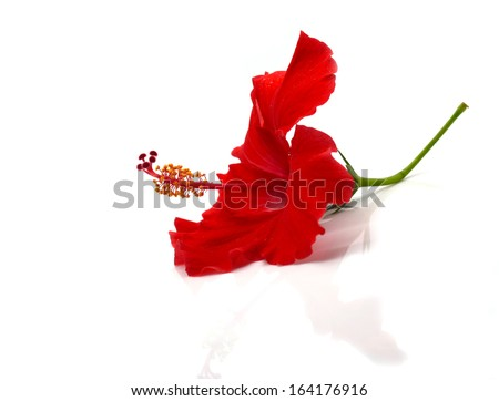 red hibiscus flower isolated on white background - stock photo
