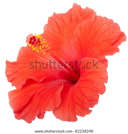 Red hibiscus flower isolated on white, clipping path included - stock photo