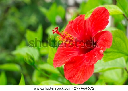 Red hibiscus on blurred background.