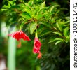 red hibiscus tropical flower, at sunny day - stock photo