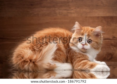 red highland kitten on mirror and wooden texture