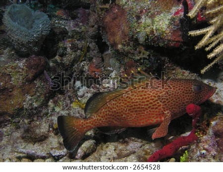 Red Hind - stock photo