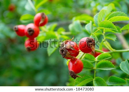 Red hips with leaves. - stock photo