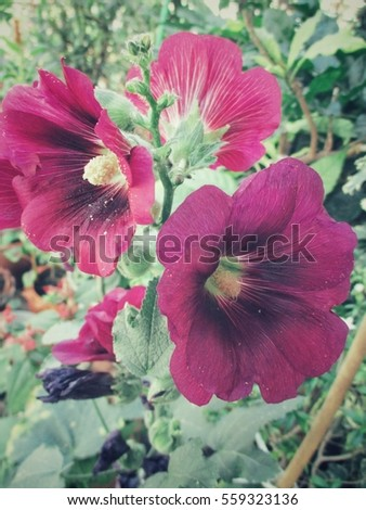 Red hollyhock flower