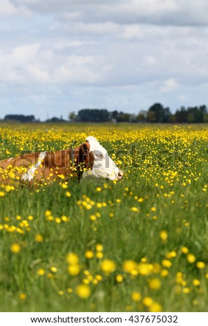 red holstein cow resting in a spring meadow - stock photo