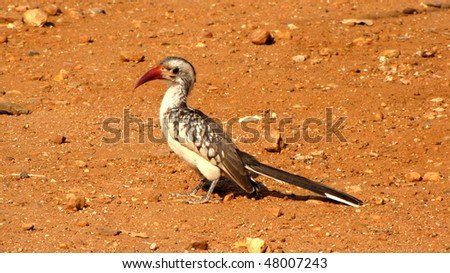 Red hornbill in southern Africa