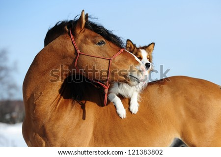 Red horse and border collie dog are friends - stock photo
