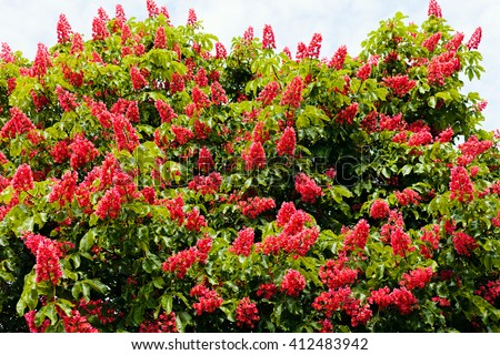 Horse Chestnut Tree Stock Images RoyaltyFree Images Vectors