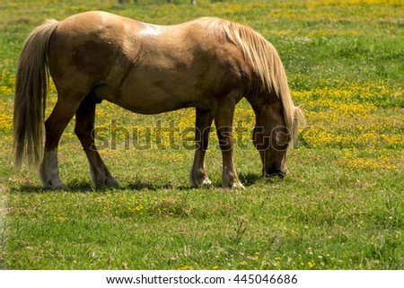 red horse, grazing on the a field on a farm - stock photo