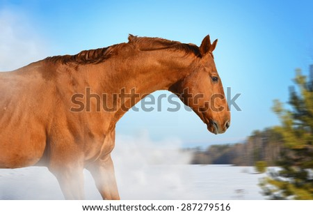 red horse on winter walk - stock photo