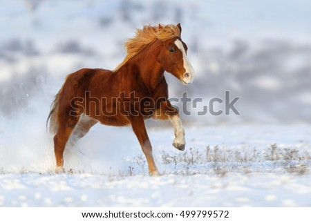 Red horse with long mane run gallop on snow field