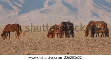 Red horses from the morning sun. Morning in Mongolia - stock photo