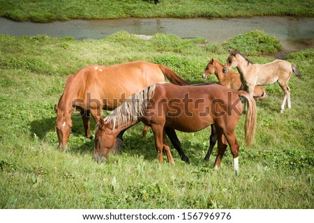Red horses with foals feeding grass - stock photo