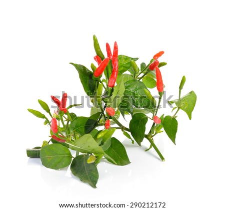 red hot chili pepper plant with leaves on  white background