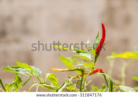 red hot chili peppers on the green plant background - stock photo
