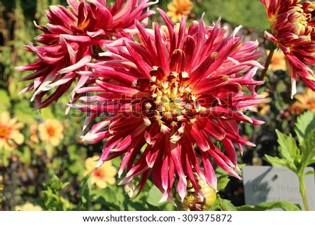 """Red """"Hybrid Dahlia Akita"""" flower in Munich, Germany. It is classified as """"Decorative Dahlia (or Miscellaneous Dahlia)"""" and native to Mexico. - stock photo"""