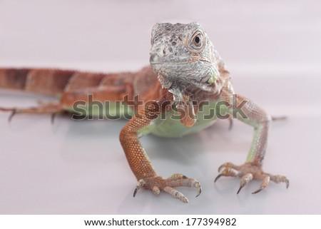 red iguanas herbivores isolated on white background - stock photo