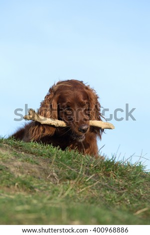 Red irish setter dog, dog for a walk  - stock photo