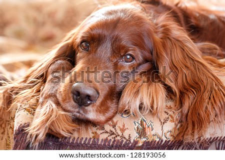 Red irish setter dog portrait - stock photo