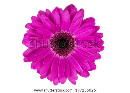 Red Isolated Gerbera Flower on White Background