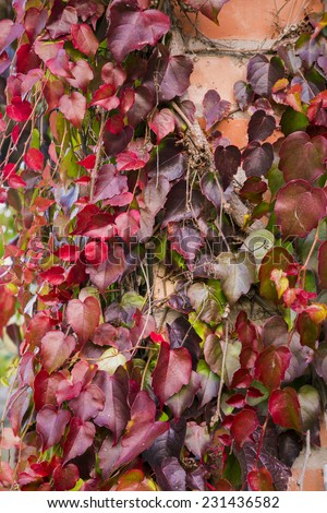 Red ivy creeper leaves on the wall of a building - stock photo