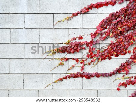 Red ivy leaves in autumn on a white bricks wall - stock photo