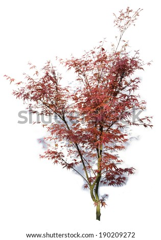 Red Japanese Maple in spring with shadow on white. - stock photo