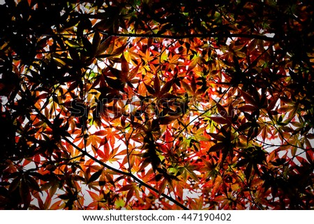 Red japanese maple leaves background  - stock photo