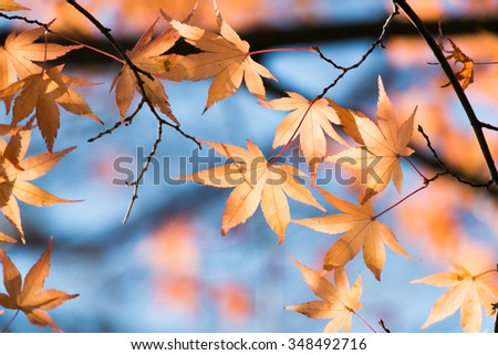 red japanese maple leaves background in autumn