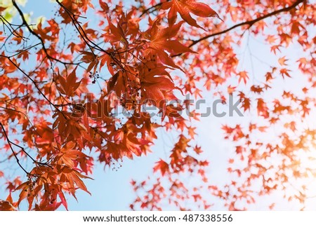 Red Japanese Maple leaves in autumn